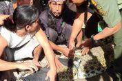 Photo : Proses evakuasi buaya sepanjang 2,5 meter milik Andiyas yang dilakukan oleh BKSDA Jatim bersama warga